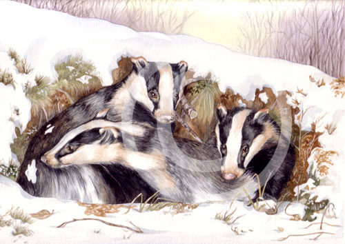 Badgers in the snow by artist Miranda Gray