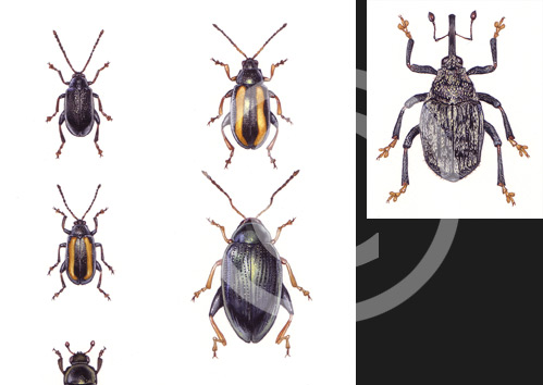 Beetles by artist Miranda Gray